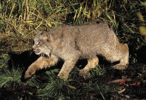 A Lynx (picture courtesy of Wikipedia)